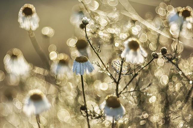 tancujúce medúzy