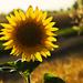 slnečnica v žite