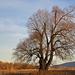 Majov strom