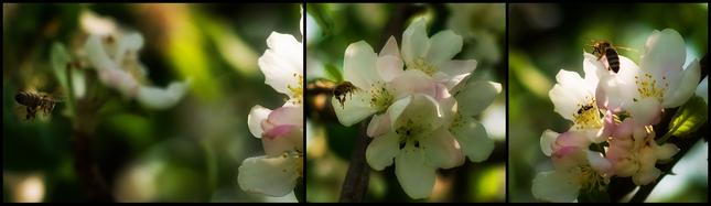 včielka a kvet čerešne