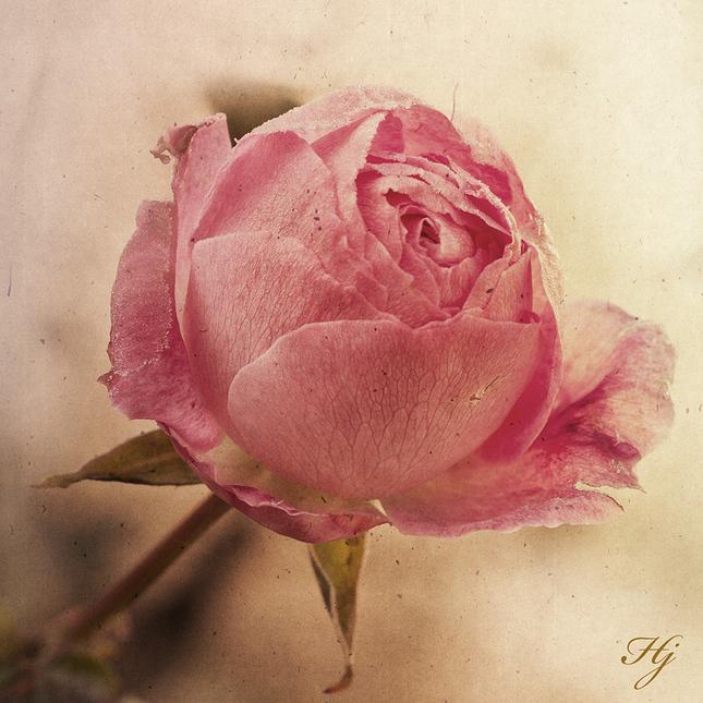 ruža I.