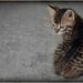 Mačka asi