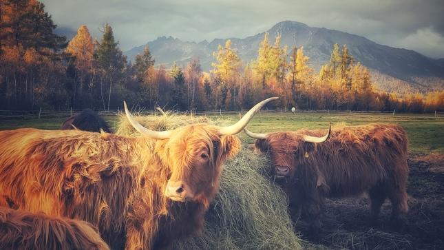 tatranský vysokohorský dobytok