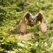 Výr velký (Bubo bubo)