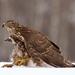Jestřáb lesní (Accipiter gentili