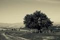 strom na Chujavách