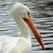 Profesor pelikán
