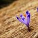 Najkrajšie kvety sú na Horehroní