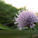 Kvet akýsi