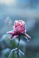 Šak ruža