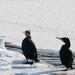 cormorants - kormorány
