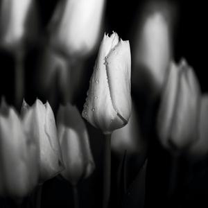 Pán tulipán