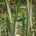 užovka vodná