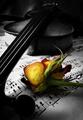 Husličky a ruža