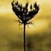 zlaty kvet