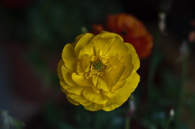 Žltá2