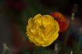 Žltá1