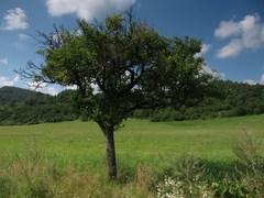 jablonka (od veľkej poľany)