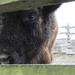 bizoní kuk