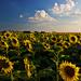 slnečnice pred západom