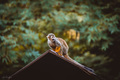 Saimiri vevericovitý