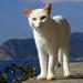 Stredomorská cica