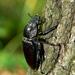 Roháč obyčajný (Lucanus cervus)