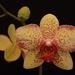 Kvet orchidei