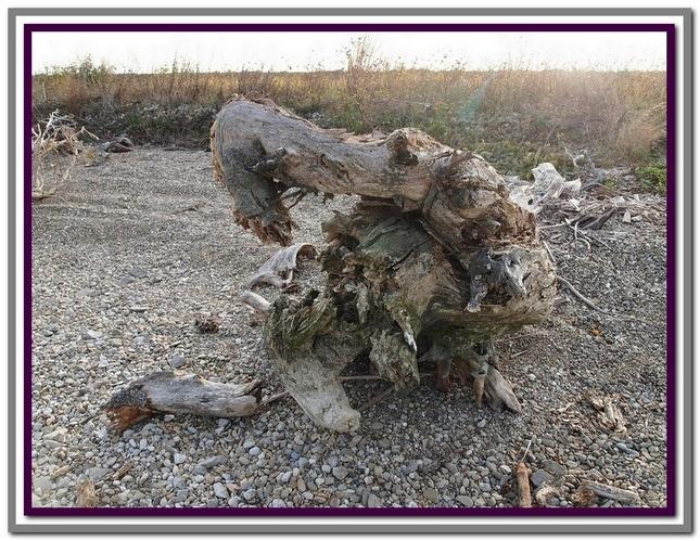 Starý koreň
