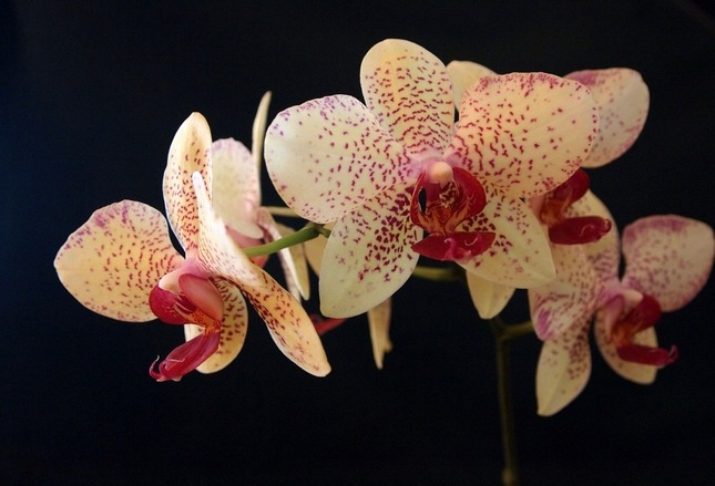 Kvety orchidei