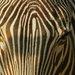 smutna zebra ZOO