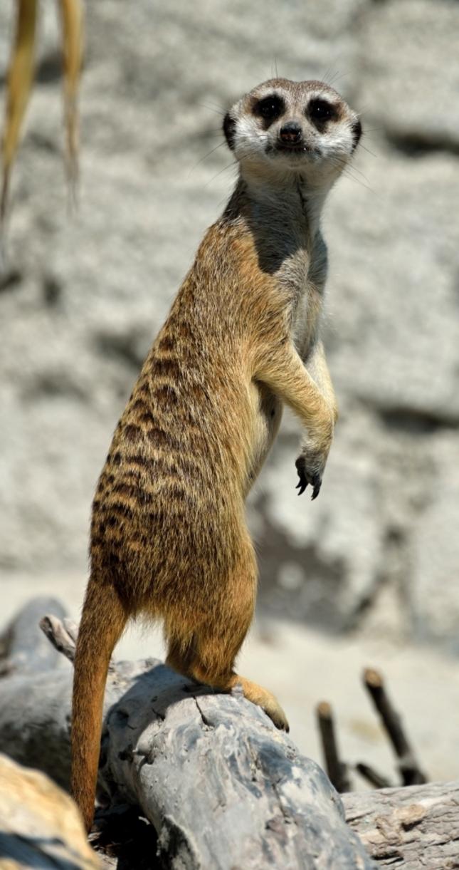 Surikata - Madagascar