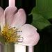 Ružová dekorácia