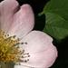 Ruža šípová