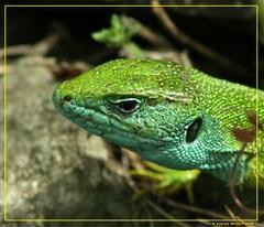 Jašterica zelená (Lacerta viridi