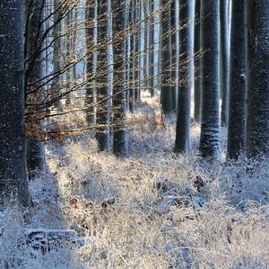 ... mrazivé ráno v lese ...