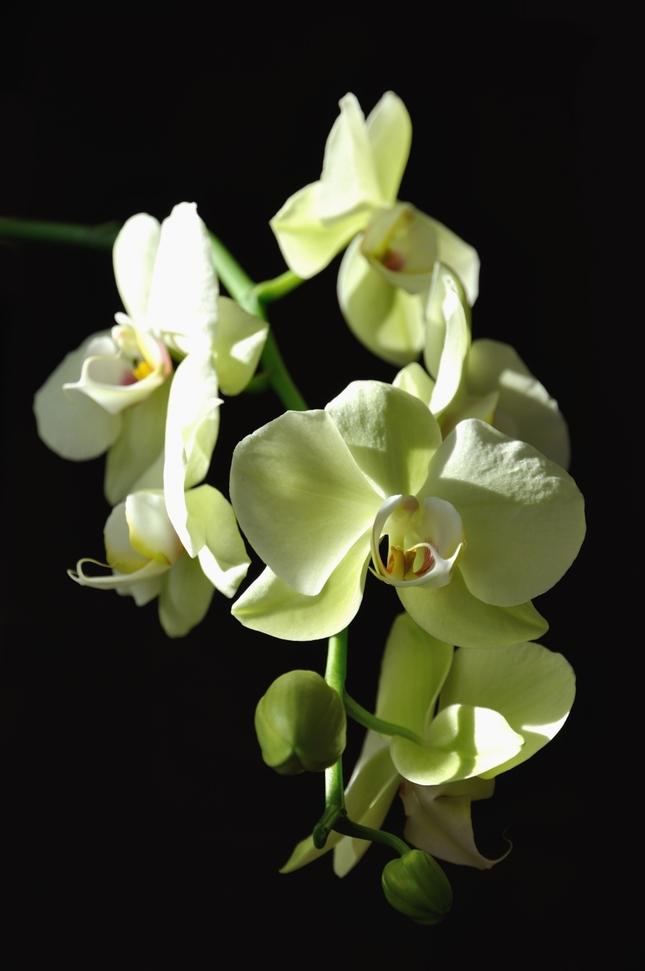 Vikinkina orchidea