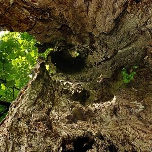 ... HOLLOW TREE II ...