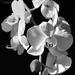 Orchidea ...