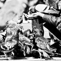 milovníčka holubov III.