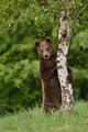 Medvedí modeling