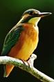 Rybárik riečny-samička