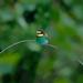 včelárik