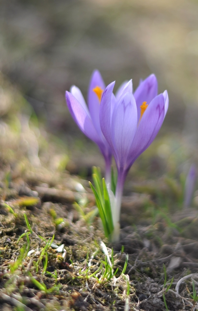 Šafrán, šafrán kvitne