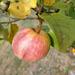 Jabľčko