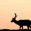 Buck in the sunset