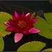 Lotosový kvet