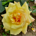 Ruža žltá
