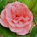 Ružová ruža