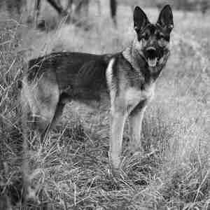 Nemecký ovčiak